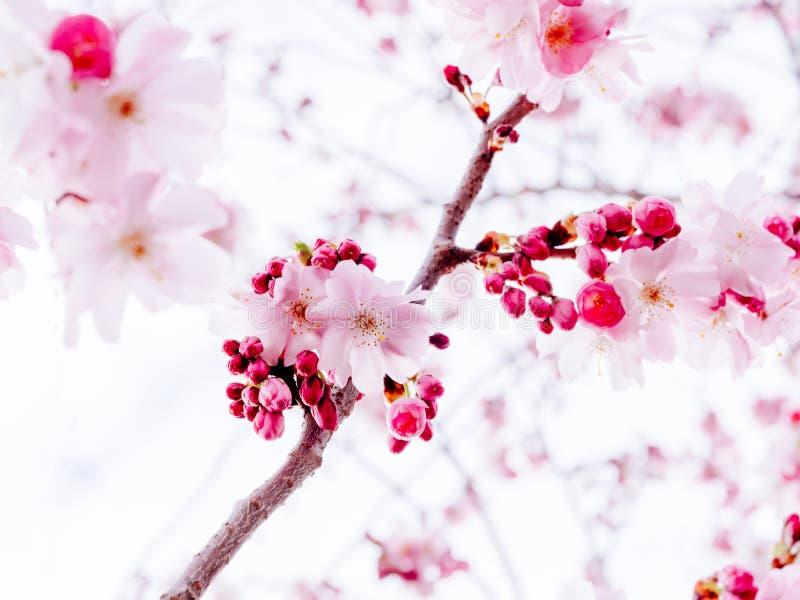Ny sakura körsbärsröd blomning i trädgård royaltyfri fotografi