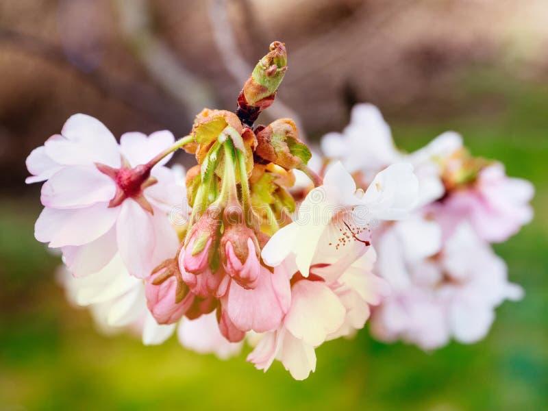 Ny sakura körsbärsröd blomning i trädgård royaltyfri foto