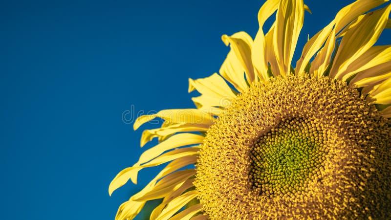 Ny solros med livlig bakgrund för blå himmel royaltyfri foto