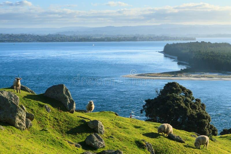 ny sommar zealand för cafeliggande Får som betar på monteringen Maunganui, hav i bakgrunden arkivbild