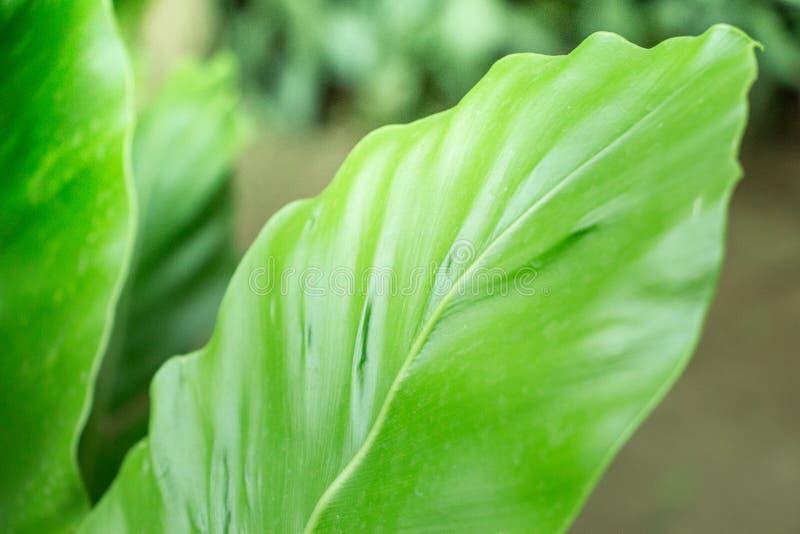 Ny stillsam grönska, med stora nya gröna sidor i trädgården Naturen bör alltid bevaras och skyddas arkivfoto