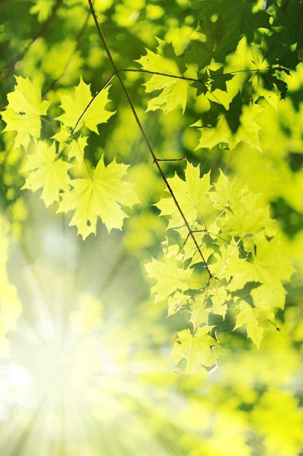 ny strålsun för leaf royaltyfria bilder