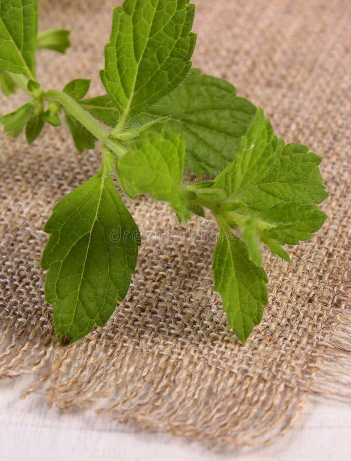 Ny sund citronbalsam på den vita trätabellen, herbalism arkivfoton