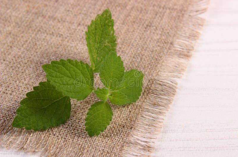 Ny sund citronbalsam på den vita trätabellen, herbalism royaltyfria bilder