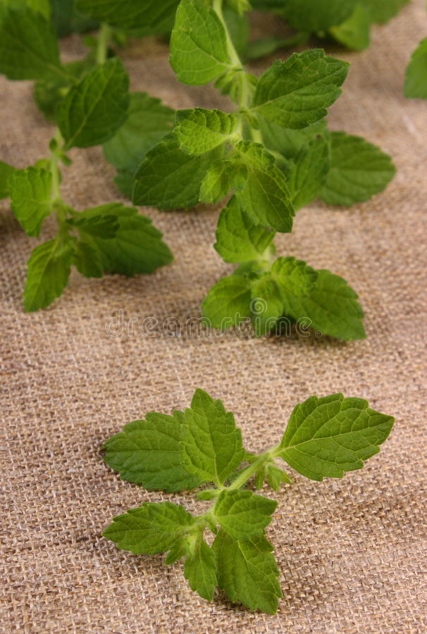 Ny sund citronbalsam på jutekanfas, herbalism royaltyfria foton