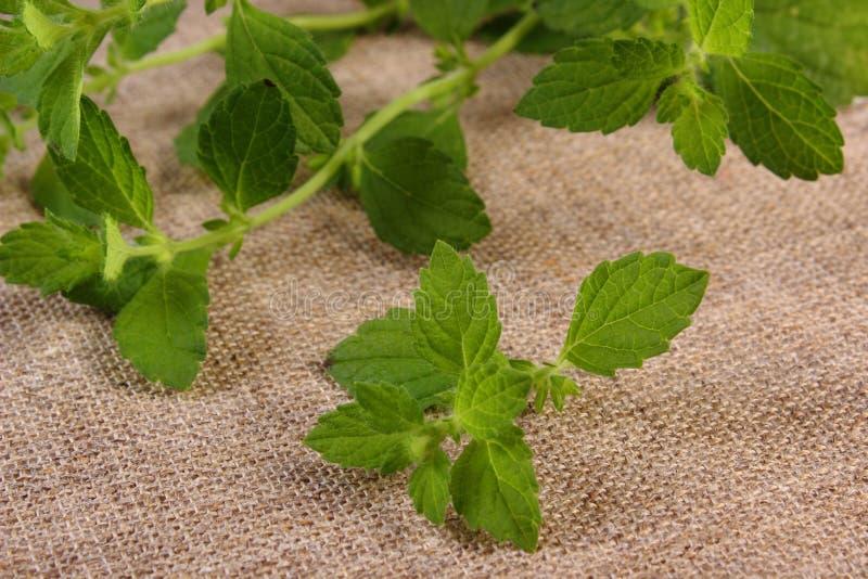 Ny sund citronbalsam på jutekanfas, herbalism royaltyfria bilder