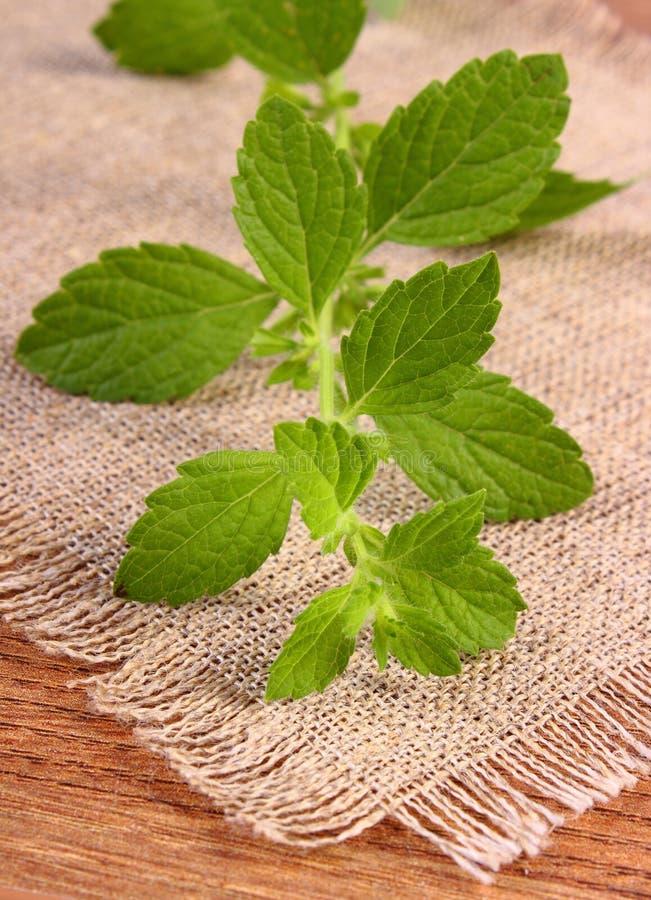 Ny sund citronbalsam på trätabellen, herbalism royaltyfria bilder