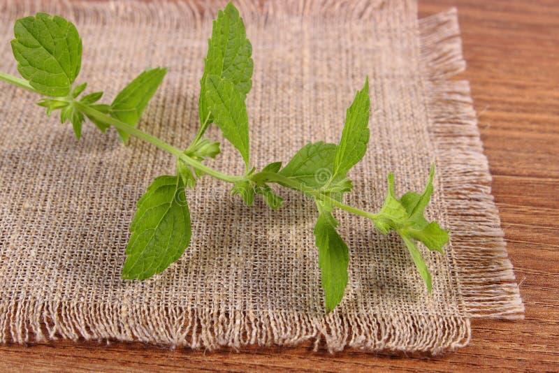Ny sund citronbalsam på trätabellen, herbalism royaltyfri fotografi