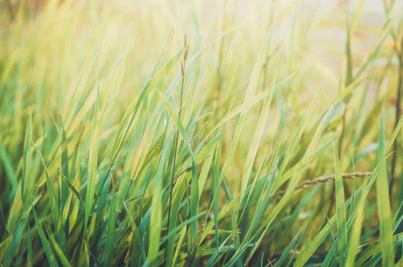 Ny sund grön bio gräsbakgrund med abstrakt suddig lövverk, ljust sommarsolljus Copyspace för din text fotografering för bildbyråer