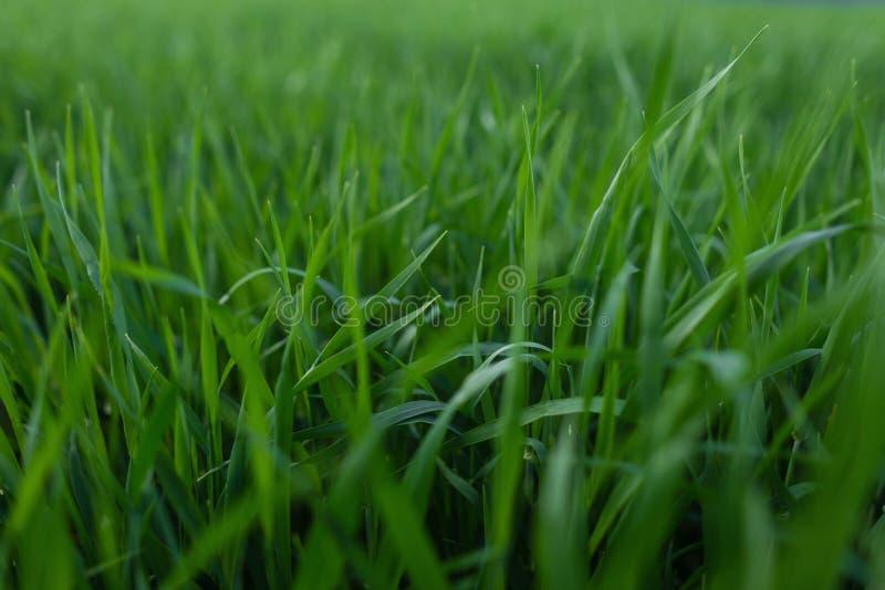 Ny textur för grönt gräs för bakgrund Gr?n gr?smattamodell- och texturbakgrund N?rbild fotografering för bildbyråer