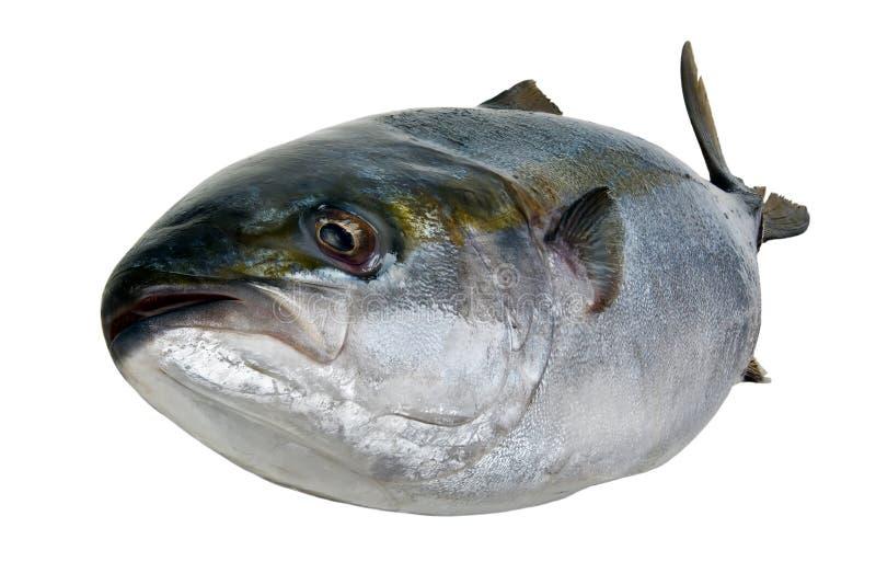 Ny tonfisk royaltyfri fotografi