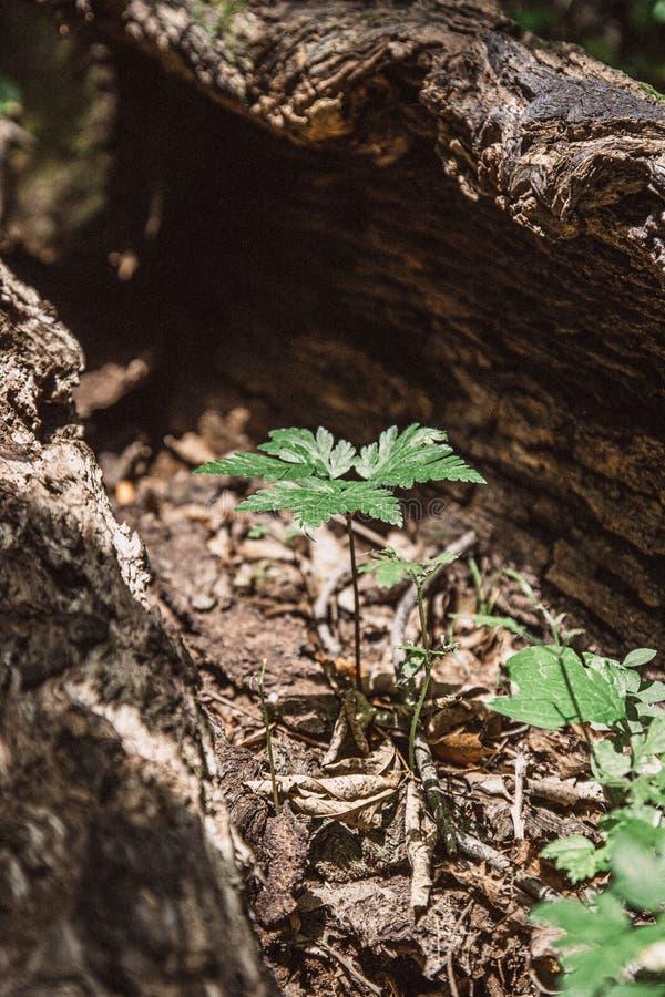 Ny växttillväxt inom den döda trädstammen royaltyfria bilder
