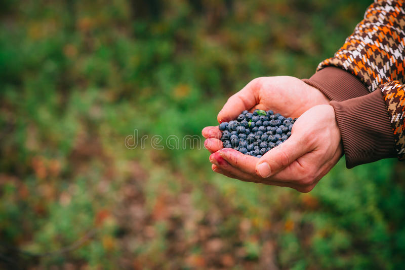 Ny vald organisk bärmat för blåbär i manhänder arkivbild