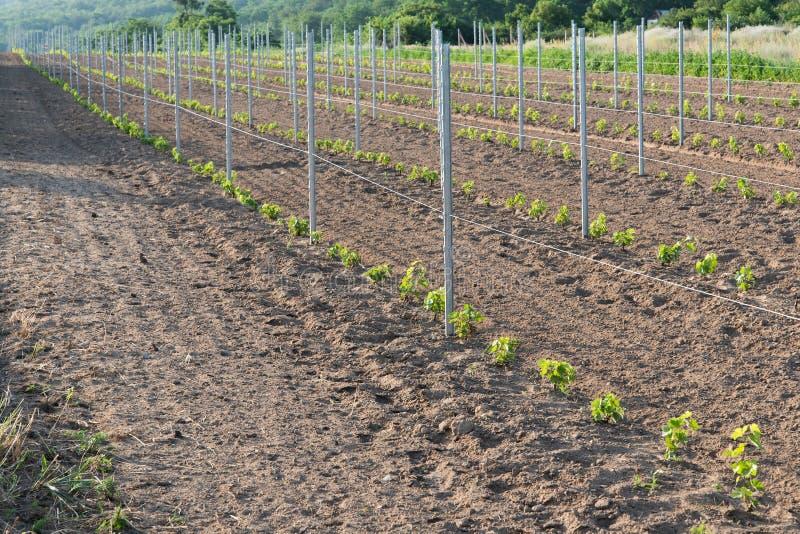 Ny vingård med unga växter av vinrankan arkivbild