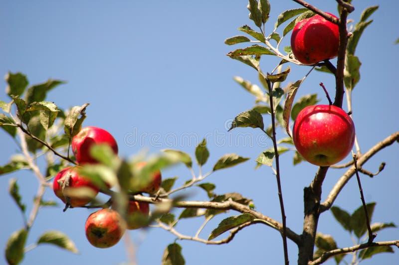 Download Nya äpplen arkivfoto. Bild av fruktträdgård, mare, crunchy - 244162