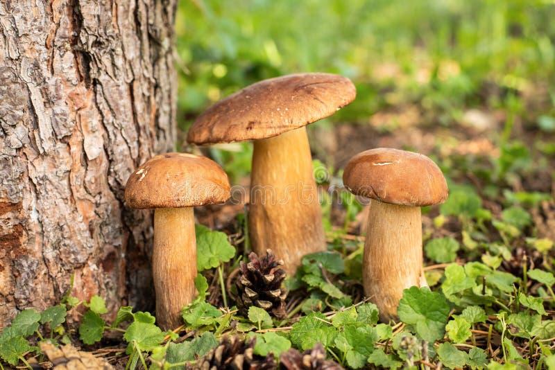 Nya ätliga champinjoner av stensoppet Porcini med sörjer trädstammen in royaltyfri bild