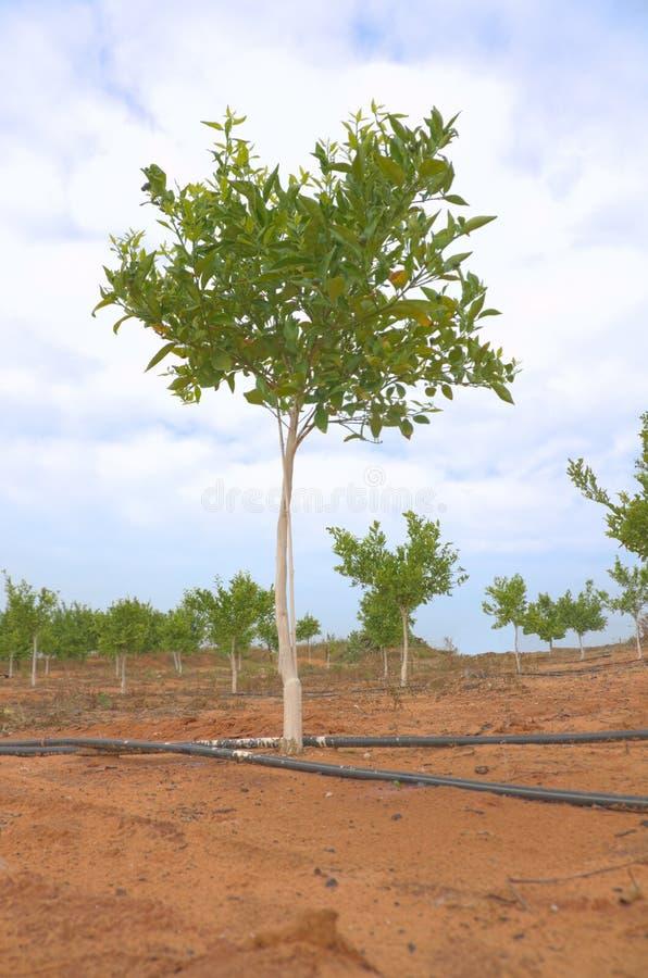 Nya början: En ung citrusträd arkivfoton