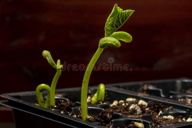 Nya Bean Sprouts For The Garden royaltyfri fotografi