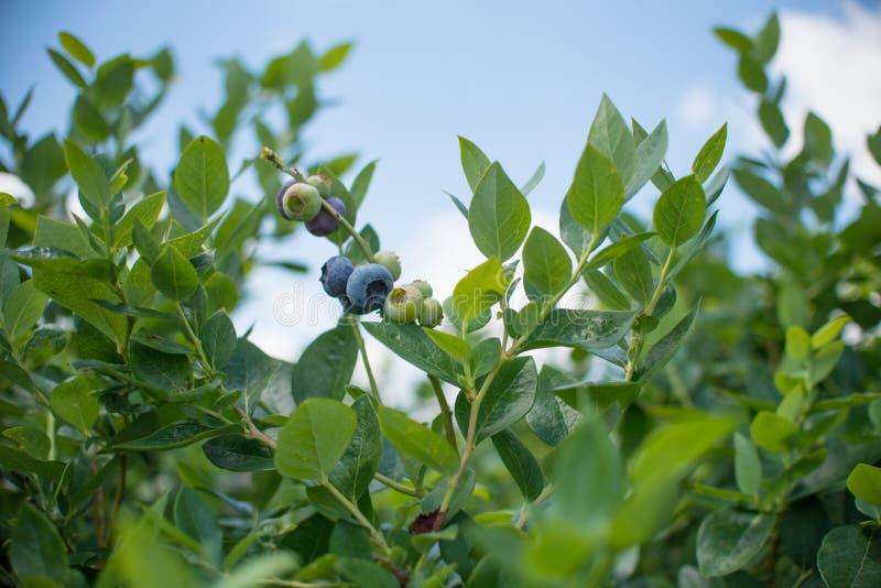 Nya blueberrys på filialen royaltyfri fotografi