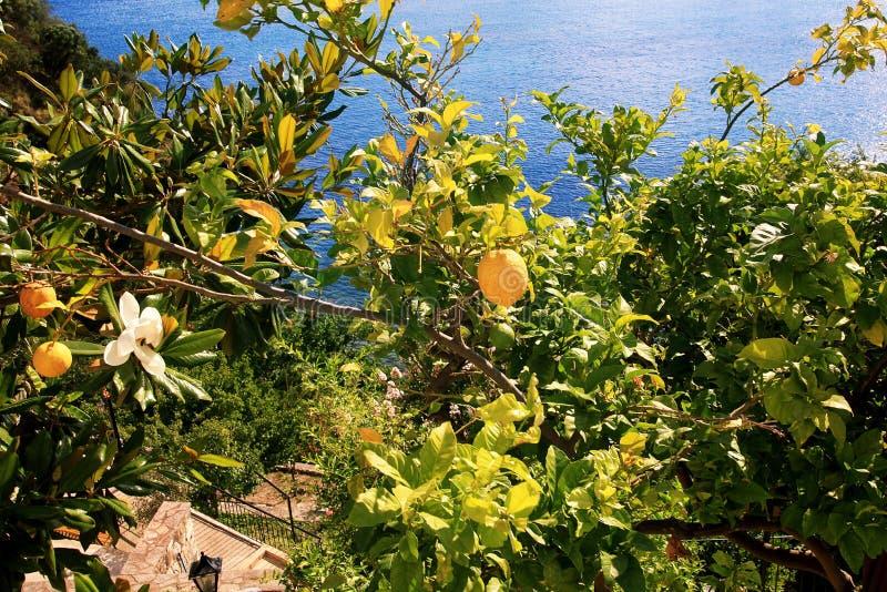 Nya citroner på ett träd royaltyfri bild