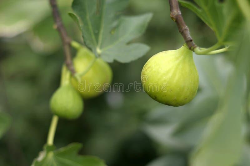 nya figs royaltyfri bild