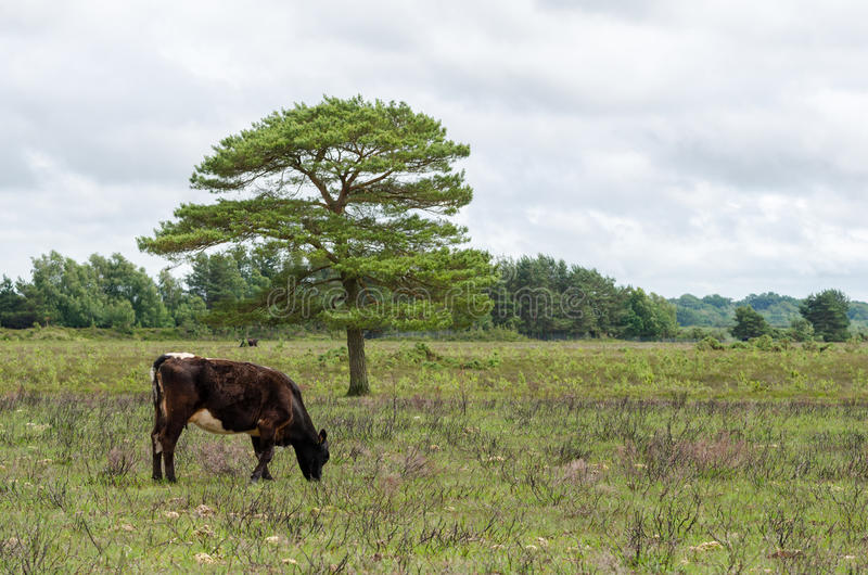 Nya Forest Cow arkivfoto