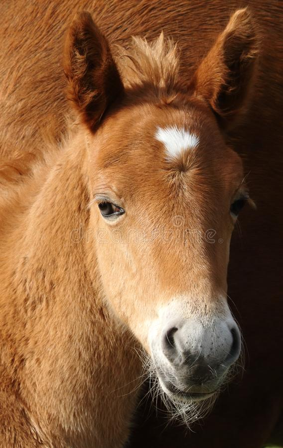 Nya Forest Pony Foal Head Shot arkivfoton