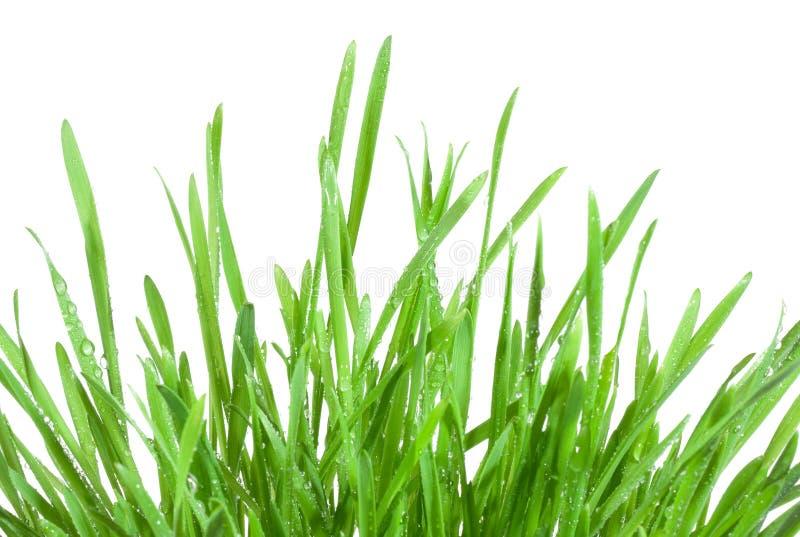 nya gräsgreenwaterdrops arkivbilder