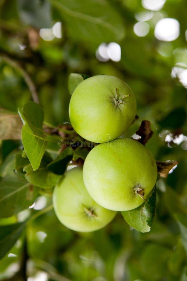 Nya gröna äpplen som växer på trädet royaltyfria bilder