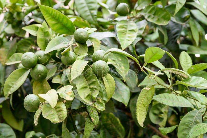 Nya gröna apelsiner i träd royaltyfria foton