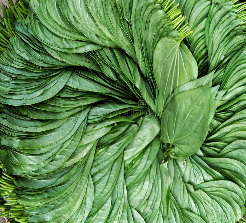 Nya gröna betelsidor royaltyfri foto