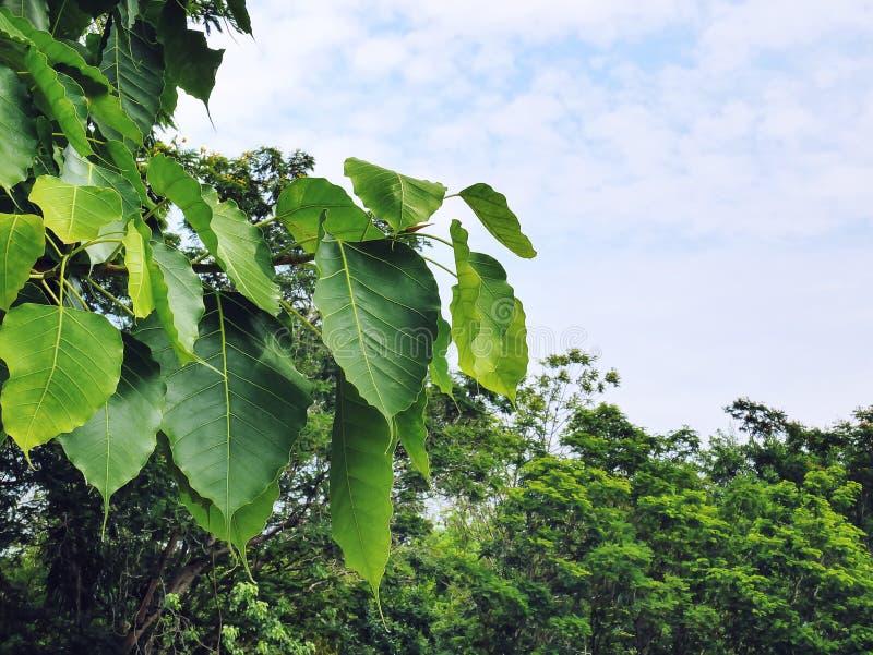 Nya gröna fikussidor mot stora träd och blå bakgrund för molnig himmel fotografering för bildbyråer