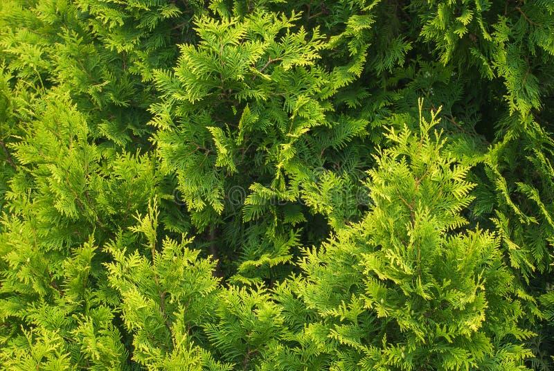 Nya gröna filialer av Cupressusträdet fotografering för bildbyråer