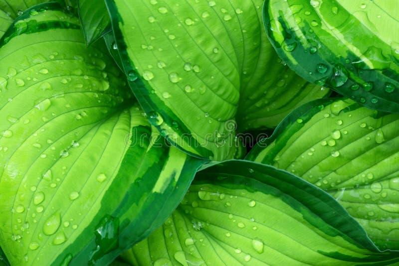 Nya gröna Hostaväxtsidor efter regn med vattendroppar Botanisk lövverknaturbakgrund Tapetaffischmall arkivbild