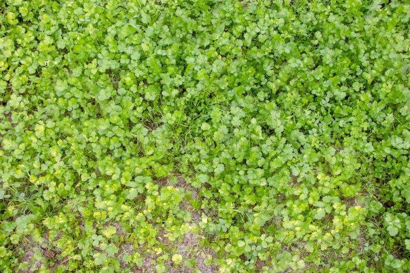 Nya gröna koriander- eller korianderblad som växer i trädgård royaltyfri bild