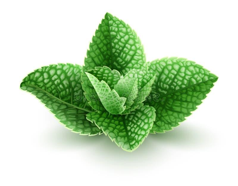 Nya gröna mintkaramellsidor för mojitodrink stock illustrationer