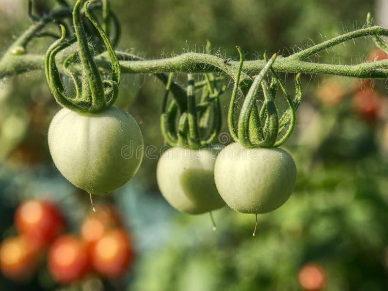 Nya gröna omogna tomater på växten Grön släktklenodtomat royaltyfri bild