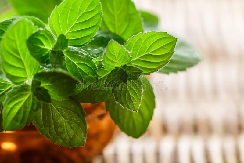 Nya gröna organiska kvistar av mintkaramellen pepparmint Kryddiga ?rtar fotografering för bildbyråer