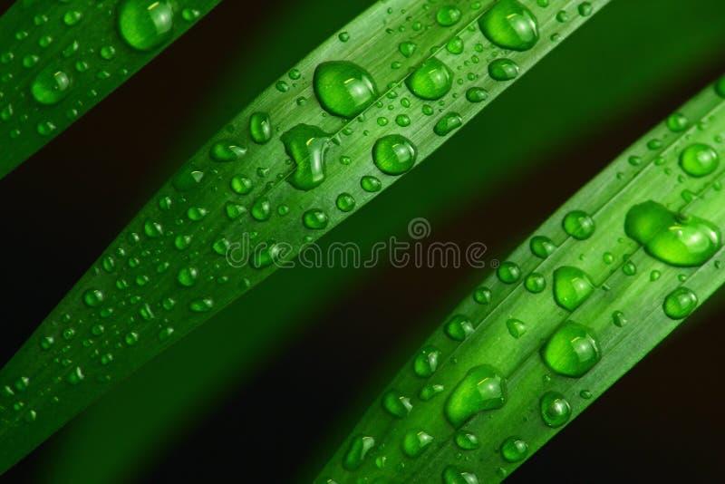 Nya gröna palmblad med vattendroppar, detaljnärbild royaltyfri foto