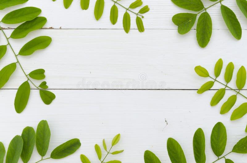 Nya gröna sidor av akacian på vit träbakgrund Lekmanna- rammodell för lägenhet royaltyfri foto