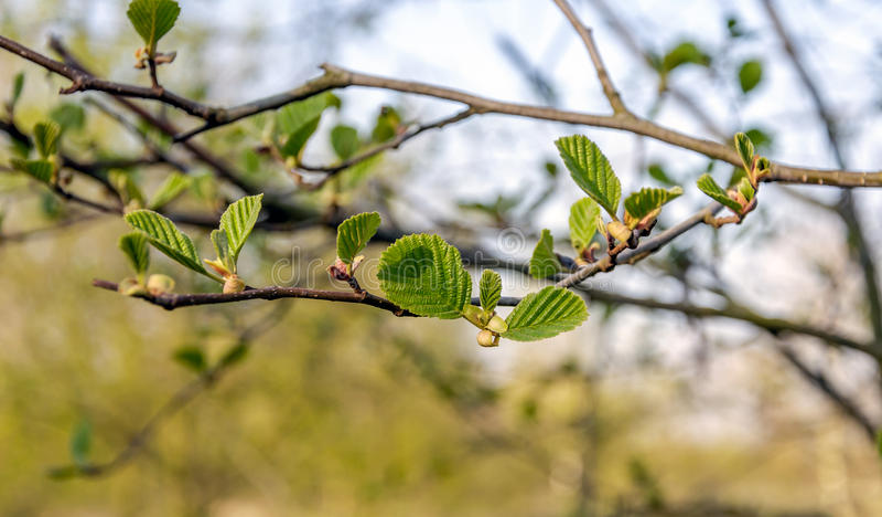 Nya gröna sidor av ett svart alträd från slut arkivfoto