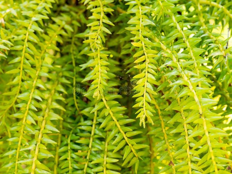 Nya gröna sidor för huperziasquarrosaormbunke i natur arbeta i trädgården bakgrund royaltyfri fotografi