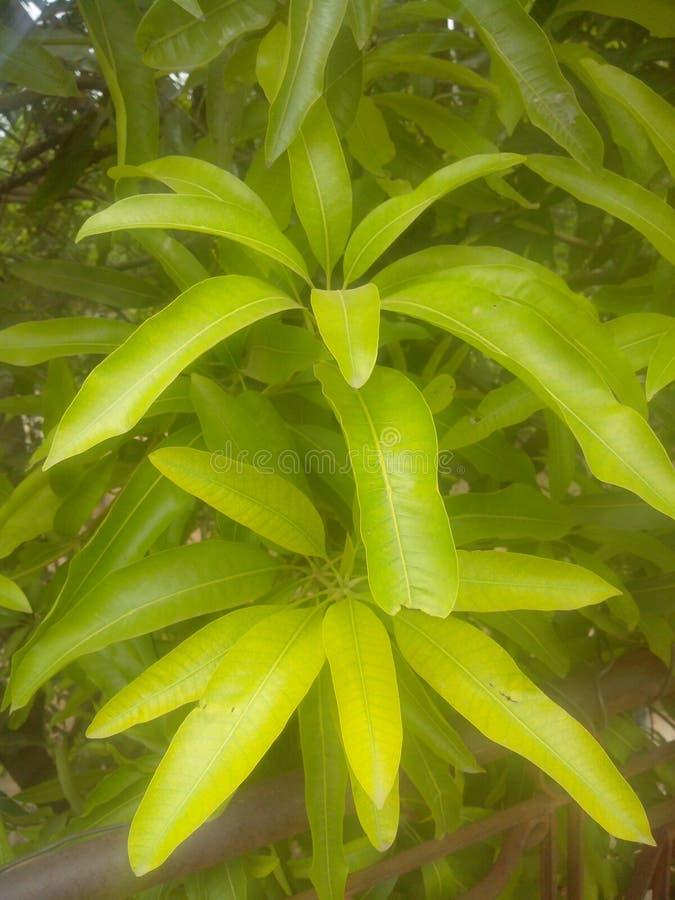Nya gröna sidor för mangoträd arkivbilder