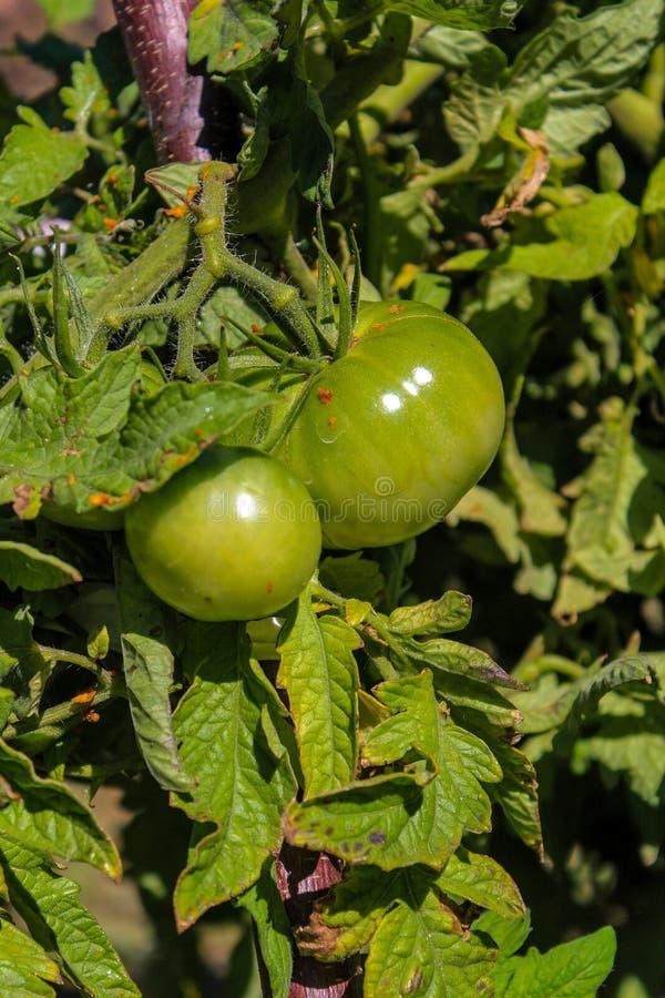 Nya gröna tomatgrönsaker i trädgård royaltyfria foton