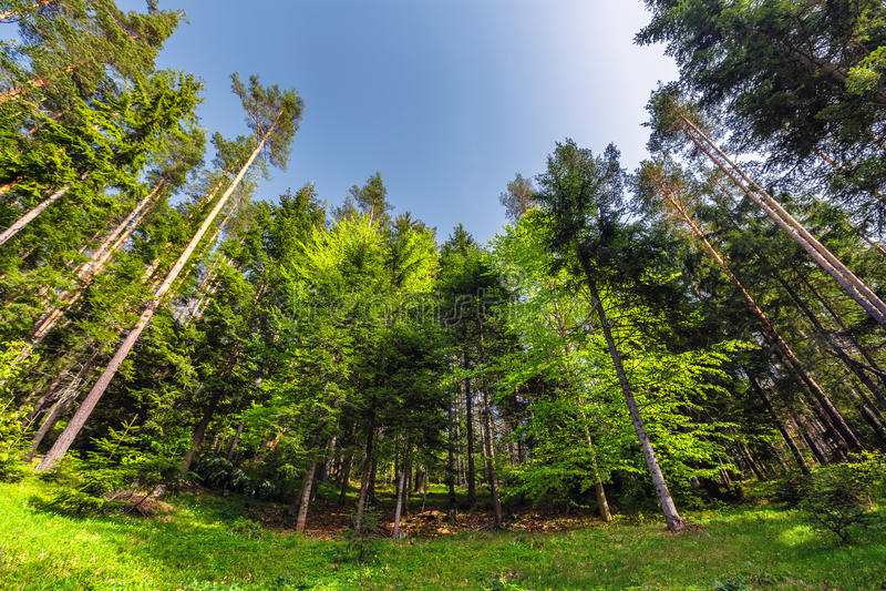 Nya gröna träd för drömlik skog i det härliga bergträt royaltyfri foto