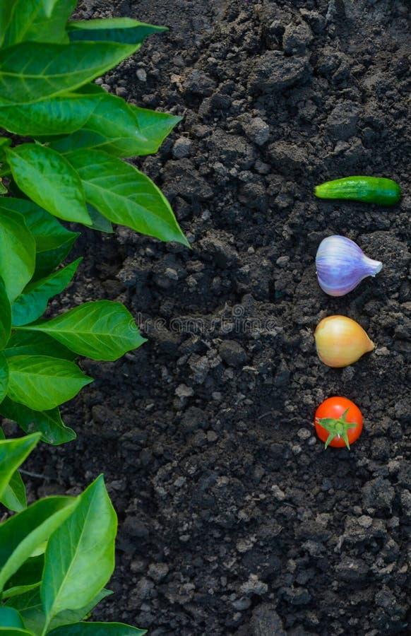 Nya grönsaker i trädgården mot bakgrunden av lövverk royaltyfri fotografi