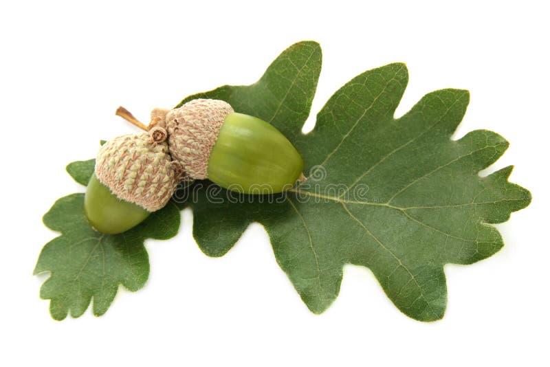 nya greenleaves för ekollonar royaltyfria foton