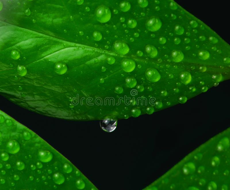 Nya greenleaves med vattendroppar royaltyfri bild
