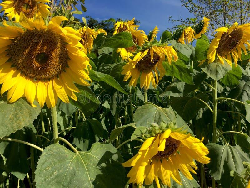 Nya gula solrosor blommar på filial i trädgården arkivbild