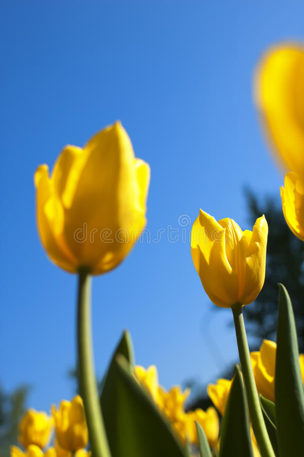 Nya gula tulpan under blå himmel royaltyfri bild
